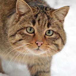 Japanse vrouw sterft door via kat overgedragen ziekte