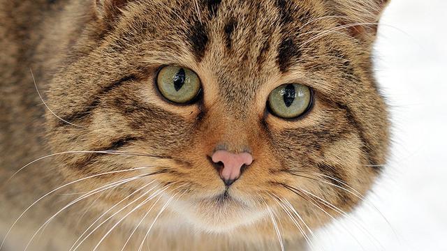Liftende kat herenigd met Belgische eigenaar