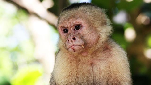 'Kapucijnapen gebruiken al honderden jaren werktuigen'