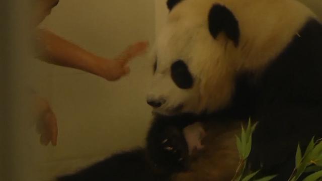 Pandatweeling om beurten bij moeder weggehaald in Zuidwest-China
