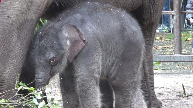 Pasgeboren olifantje Sanuk voor het eerst naar buiten in Artis