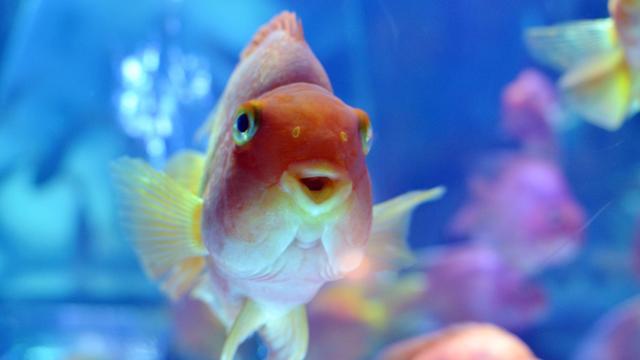 Man moet 80 uitgezette goudvissen uit gracht Veenendaal halen