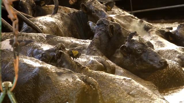 Koeien zakken door de vloer en eindigen in gierput