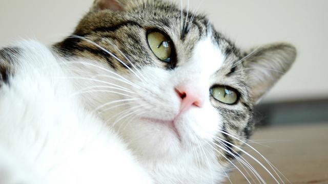 'Boeren in Midden-Oosten waren eersten die katten hielden als huisdieren'