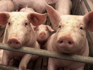 Duizend varkens hebben brand vermoedelijk niet overleefd