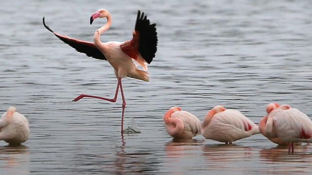 Lichaam dode flamingo blijft op een poot staan door perfecte balans