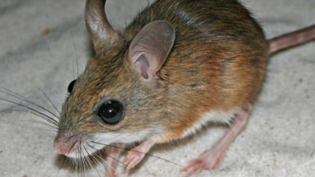 'Vissen in Australië eten muizen'