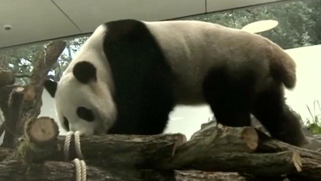 Panda's lopen voor het eerst in nieuw verblijf in Berlijn