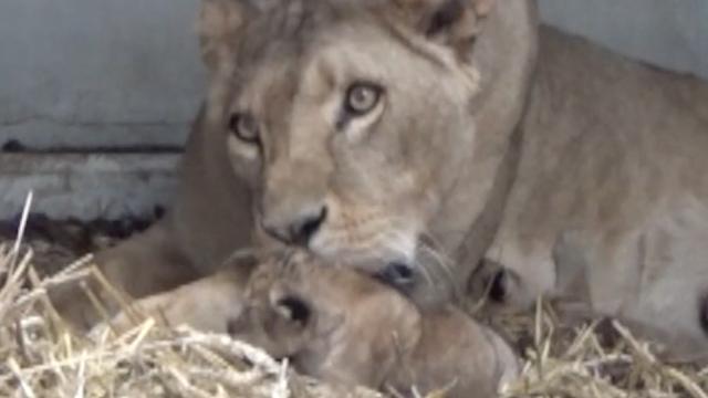 Eerste beelden pasgeboren welpjes Wildlands Adventure Zoo