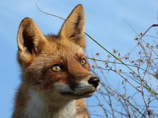 Twee weken geleden werd een vos aangetroffen in de Jordaan