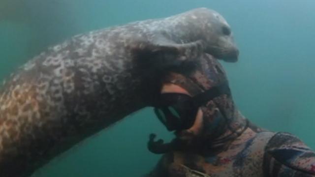 Zeehond aait duiker over zijn hoofd bij Californië
