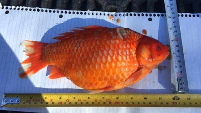 Duizenden losgelaten goudvissen uit wateropslag in Canada gehaald