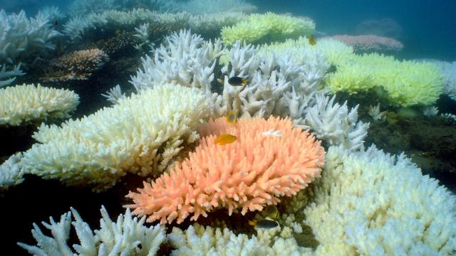 'Ruim een derde koraal Great Barrier Reef dood door verbleken'