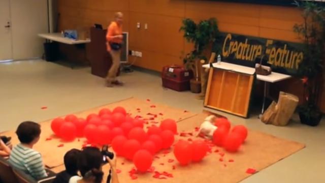 Record: Jack Russel maakt honderd ballonnen kapot in 39.08 seconden