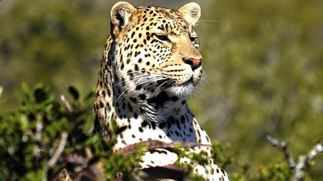 Jachtverbod op luipaarden in Zuid-Afrika voor 2016