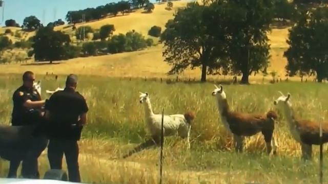 Agenten vangen ontsnapte lama in Californië