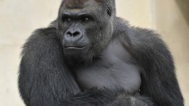 Gorilla's 'zingen' bij het eten