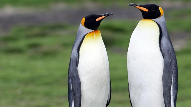 Homoseksueel pinguïnpaar verhuist naar dierentuin met mannetjesverblijf
