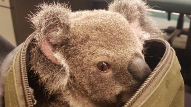 Australische politie vindt bij toeval jonge koala in tas arrestant