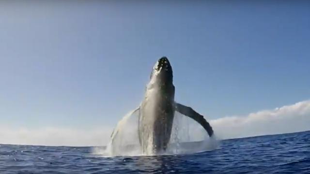 Walvis springt op paar meter afstand van snorkelaar voor kust Hawaï