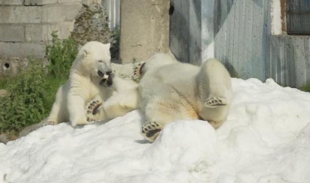 Skicentrum doneert sneeuw aan dolblije ijsberen Finse dierentuin