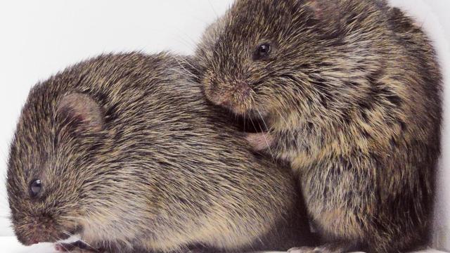'Prairiewoelmuizen troosten elkaar in stressvolle situaties'