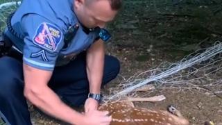 Politieagent bevrijdt in voetbalnet verstrikt reekalf