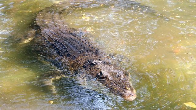 Vrouw verjaagt grote krokodil met teenslipper