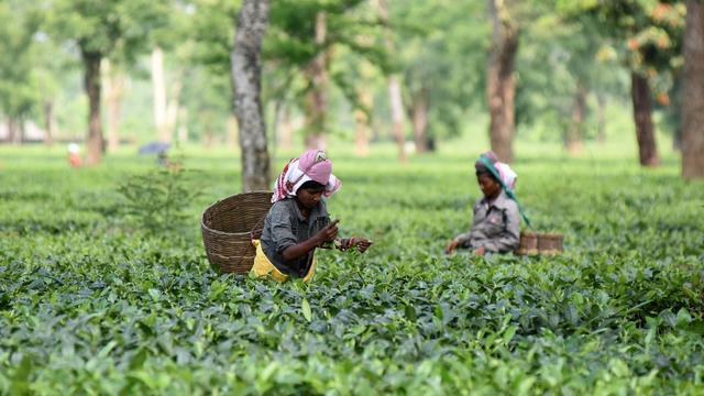 Unilever erkent misstanden op theeplantages in India