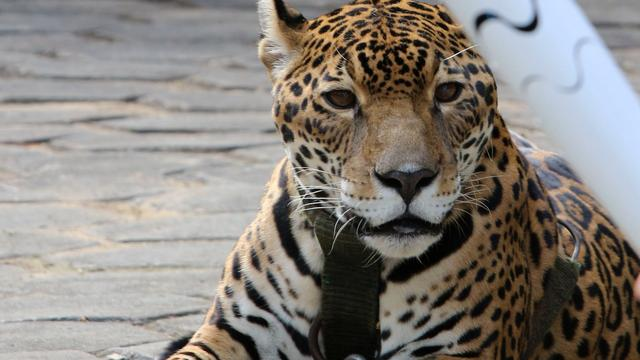 Jaguar doodgeschoten tijdens fakkelceremonie Brazilië