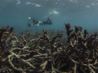 Naar schatting 29 procent ondiep koraal beschadigd