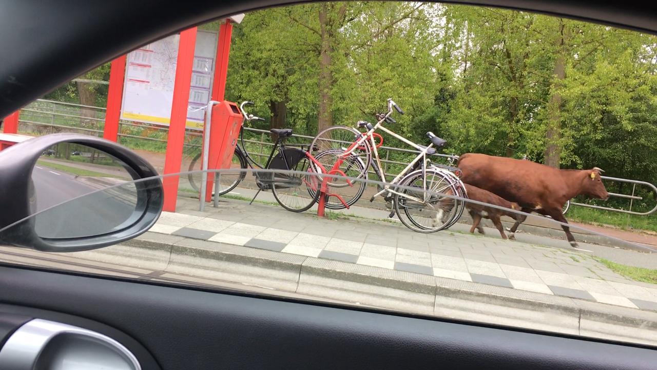 Politie achtervolgt losgeslagen koeien bij Utrecht