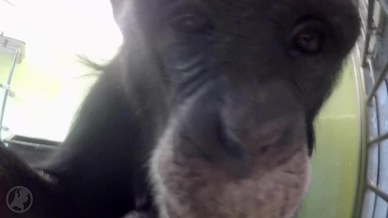 Dit is de eerste vloggende aap ter wereld