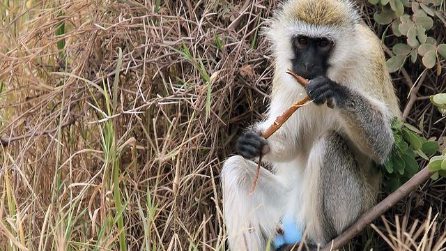 'Gevlooide apen kunnen beter tegen hitte en kou'