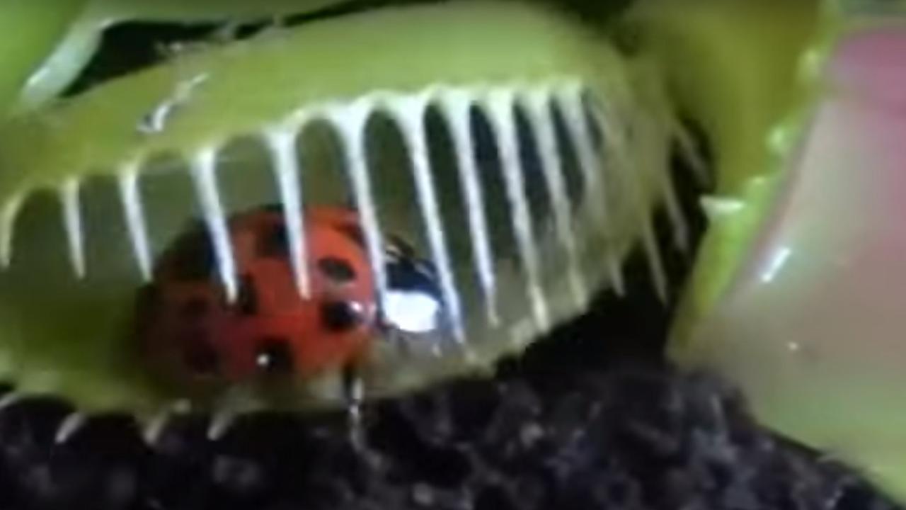 Lieveheersbeestje loopt Venusvliegenvanger in