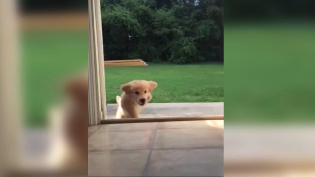 Puppy met drie poten leert drempel te nemen