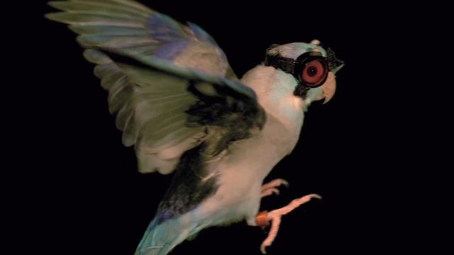 Bebrilde vogels met lasers beschoten om vlieggedrag te bekijken