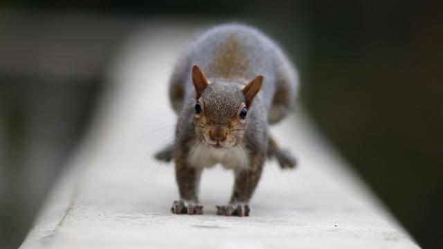 Eerste eekhoorns gesignaleerd op brug Sint Willebrord