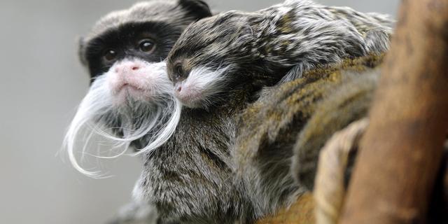 Kleine apen nemen na verhuizing accent van andere apensoorten over