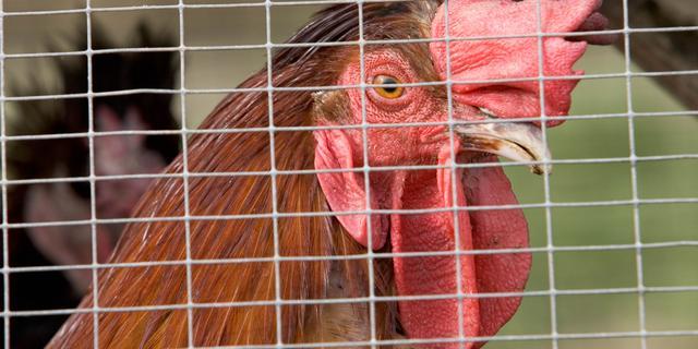 Ruim 130.000 kippen geruimd in Sint-Oedenrode wegens vogelgriep