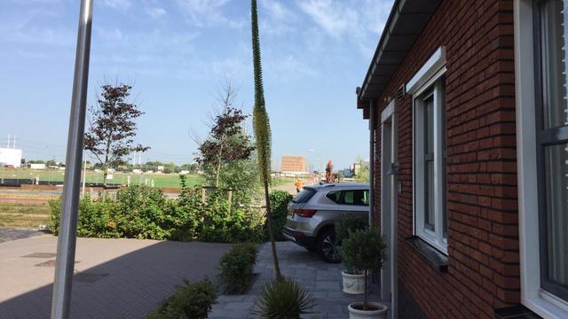 Agave groeit in tuin in Den Hoorn door warmte uit tot plant van ruim 4 meter