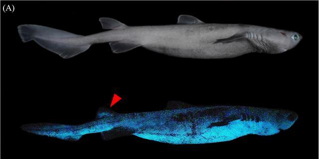 Drie soorten lichtgevende haaien ontdekt bij Nieuw-Zeeland