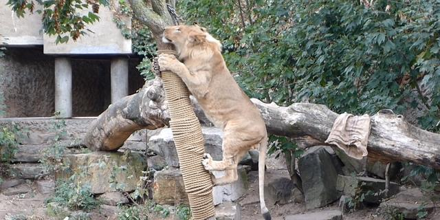 Noodlijdend ARTIS neemt door crisis noodgedwongen afscheid van leeuwen