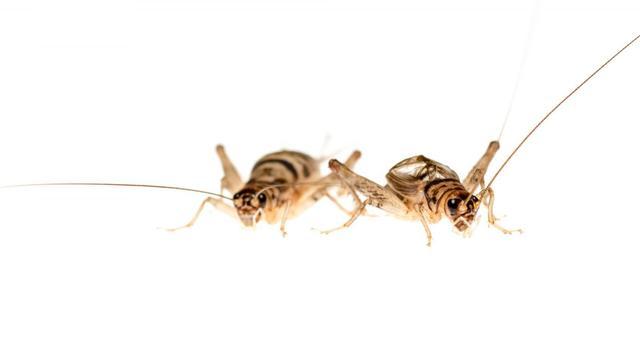 'Dikke' krekels verleiden meer vrouwtjes