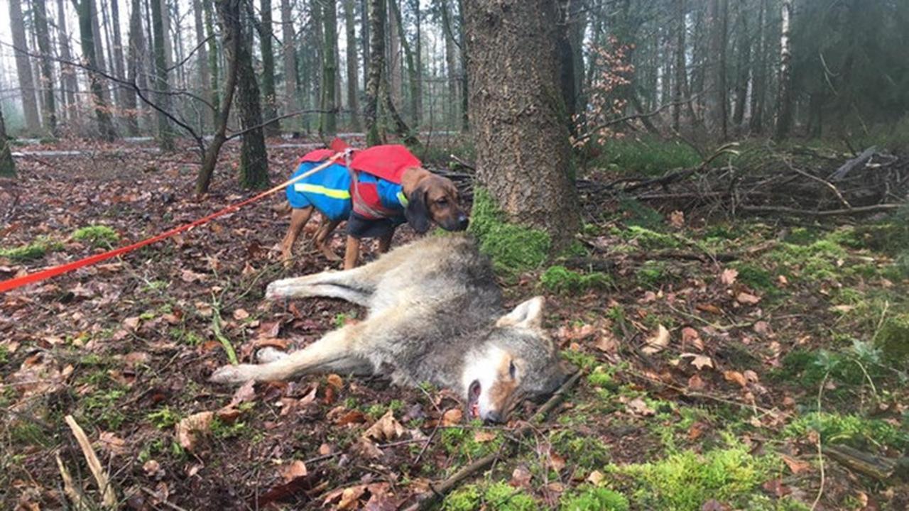 Jonge wolf doodgereden op Noord-Veluwe