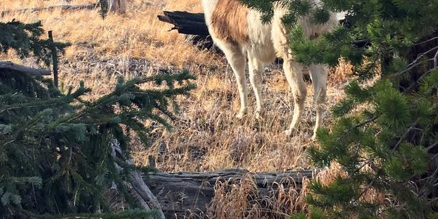 Vrouw redt maandenlang 'verdwaalde' lama uit Yellowstone National Park
