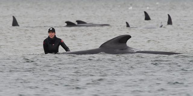 Zeker 380 voor Australische kust gestrande walvissen dood