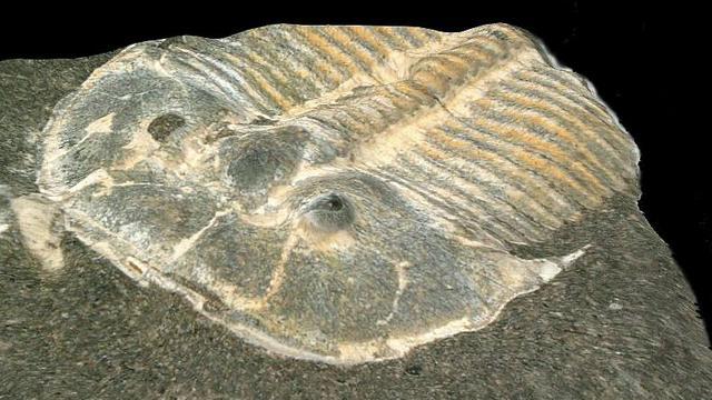Ogen van ruim 400 miljoen jaar oude trilobiet vergelijkbaar met bijenoog