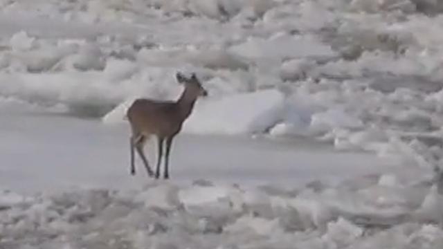 Hert ontsnapt van ijsschots in wild stromende rivier Maine