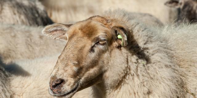 Schapen begrazen groene hindernissen van Outdoor Brabant
